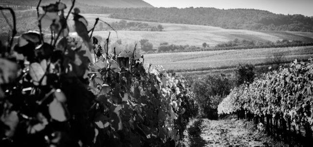 Cantina_Chiacchiera_la_vigne